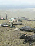 新疆死亡谷:野牦牛曝尸荒野 内脏神秘失踪