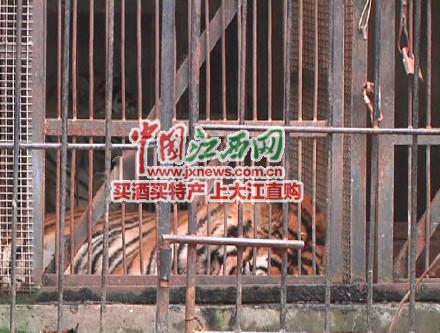 江西:动物园老虎咬死饲养员