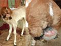 实拍印度小牛长五张嘴遭膜拜
