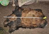 云南大熊猫遭村民持枪猎杀 拼命逃上树仍被打死剥皮