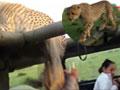 猎豹失足掉入载满游客吉普车