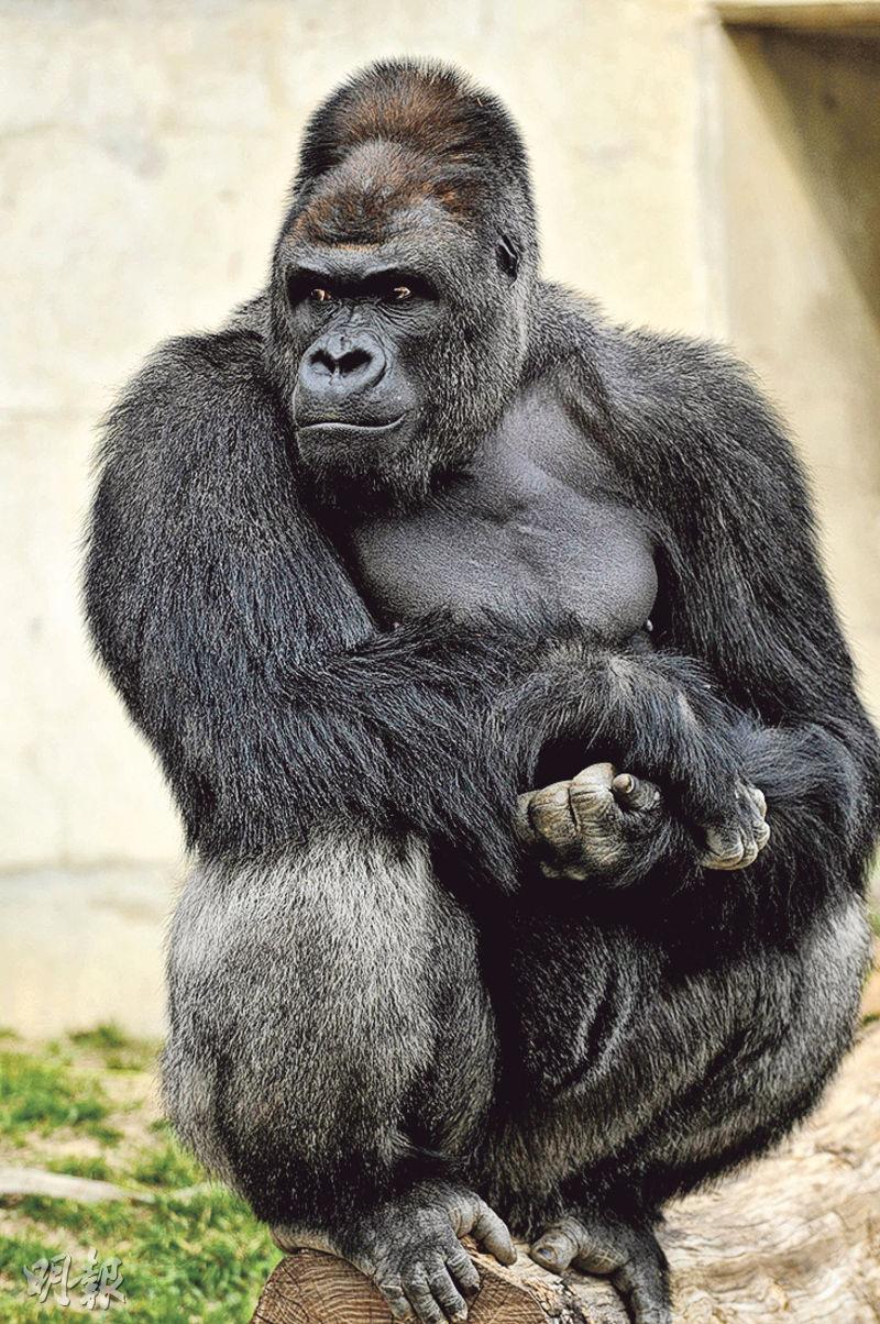 一头雄性大猩猩最近在日本很火