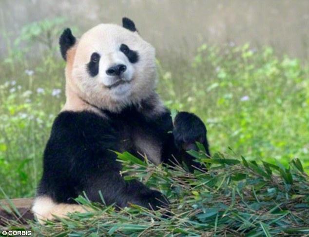 大熊猫为什么这么慵懒?为了节省能量!