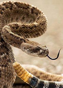 草原上的响尾蛇