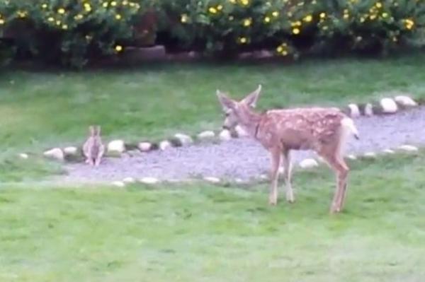 """小鹿与小兔成为好朋友 原标题:美国一博物馆后院小鹿与小兔和睦相处成好友 【环球网综合报道】据英国《镜报》8月13日报道,美国科罗拉多州一座博物馆内出现了可爱一幕:一只年轻的梅花鹿和小兔子成了好朋友,一同在草地上欢快地玩耍。这样的场景几乎是动画片《桑普兔和小鹿斑比》的现实翻版。 两名博物馆志愿者拍下了这童话般的画面。视频显示,两个小动物玩起了""""你跳我跳""""的游戏,只要小兔子一蹦跶,小鹿就乖乖学样。 据悉,该视频已上传至""""脸谱""""网,分享次数已破2."""