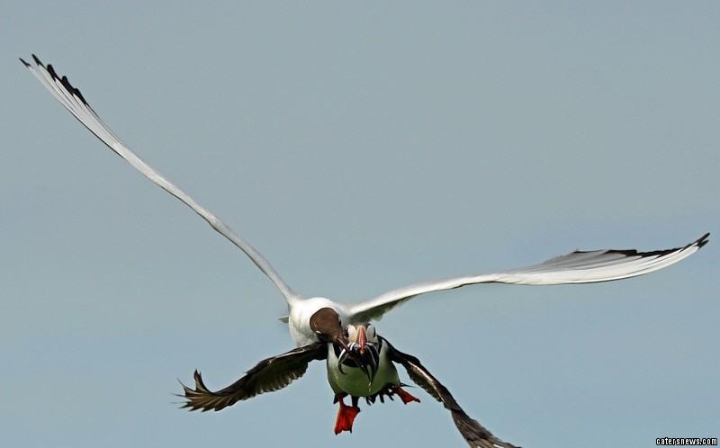 """回.然而让它们始料未及的是,素以强盗之名""""闻名""""英格兰的海鸥图片"""