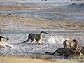 实拍多只豹子喝水惹怒狒狒遭其狂追