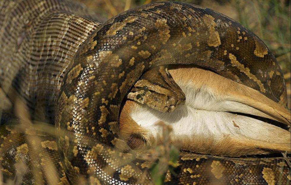 非洲巨蟒吞食野山羊 吞咽过程达24小时(图)1