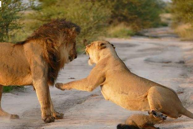 母爱本能 雄狮攻击小狐狸 母狮怒吼护小狐(图) - 觉海性澄圆 - 觉海性澄圆