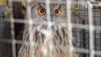 太原现罕见夜行猛禽 闯养殖场当场吓死20只兔子