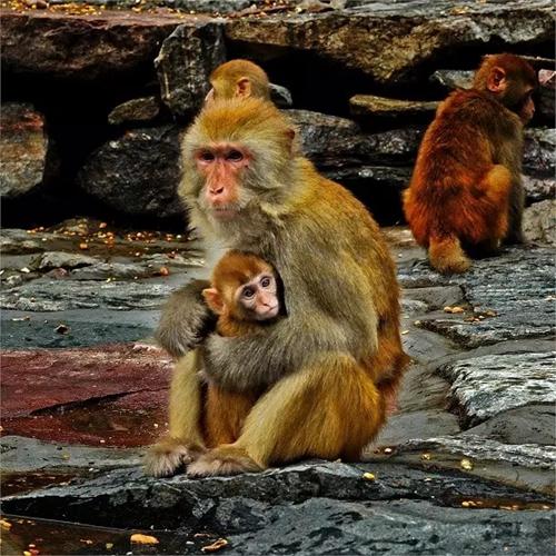 猴子是不是保护动物