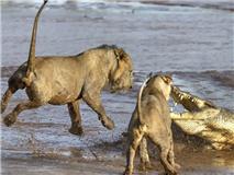 狮子兄弟猛扑鳄鱼 反被一招吓跑
