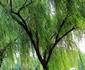 万木竹柳种植基地