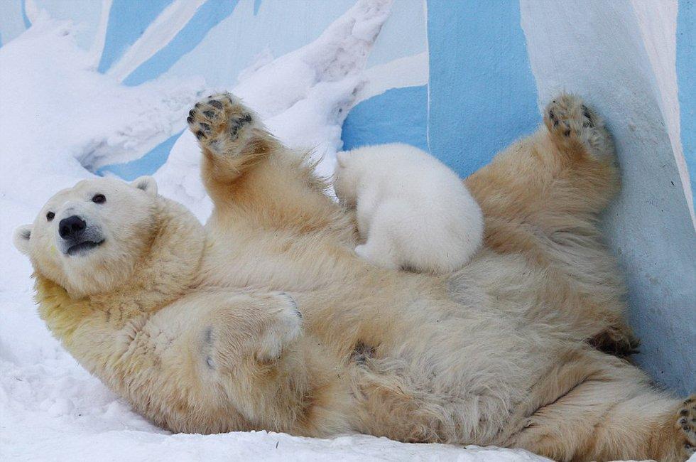 北极熊鹦鹉雪中嬉戏我欲封天v鹦鹉母子图片