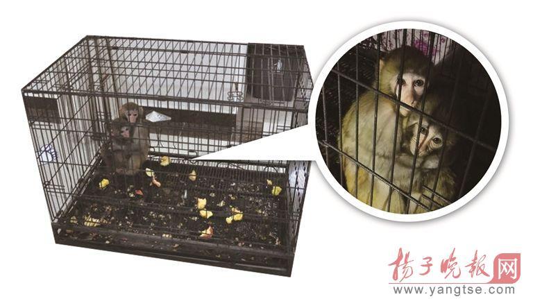 南京一酒店私自喂养两只猕猴 否认用于活猴取脑(图)
