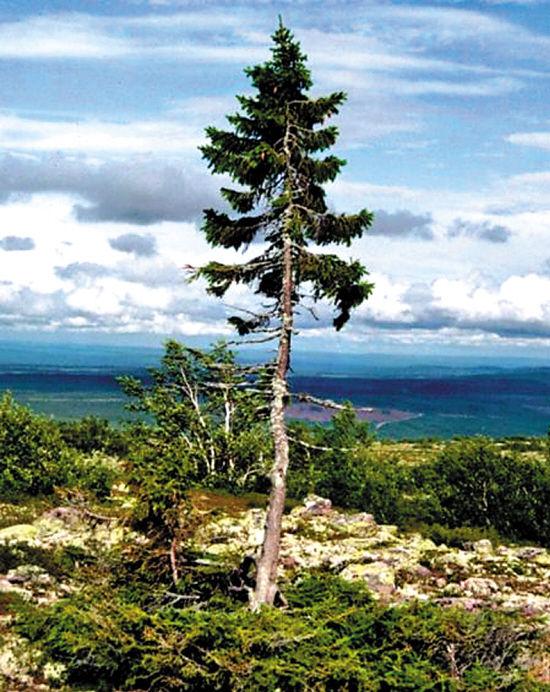 一棵9500岁的树 - 野郎中 - 太和堂