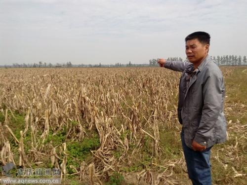 图为郭先生承包地里的玉米杆大面积枯萎