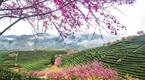 """福建""""大陆阿里山""""茶绿樱红美到爆"""