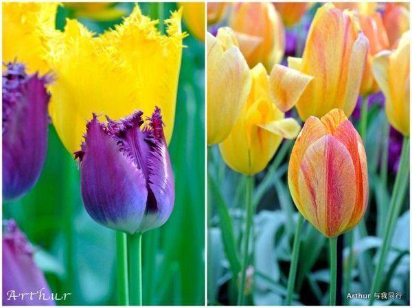 """霍夫/荷兰有""""欧洲花园""""之美誉,而郁金香是荷兰种植最广泛的花卉,..."""