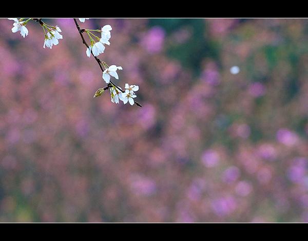 满地落樱 ↑ 3p 树梢的樱花还有不少,雨止后,又开出许多 &uarr