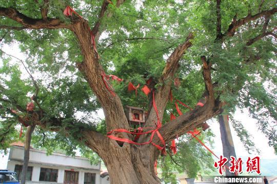 图为河北省赤城县样田乡上马山村的两株古榆树,树枝上面系着红绳,当地