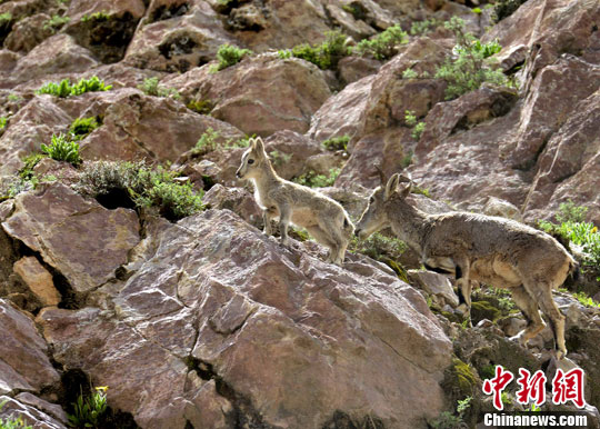到的国家二级保护动物岩羊