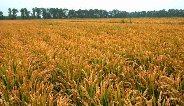 鼎翔生态水稻 热爱美丽中国 期待魅力湿地 辽宁省盘锦市按照特色农业、绿色产品、富裕农民的原则,致力发展生态农业,打生态牌、走特色路,全市特色生态农业走在了全国前列。 辽宁省盘锦市地处辽河三角洲腹地,地势平坦,资源丰富,是一座驰名中外的国家生态示范城市。既有大油田辽河油田,也有大湿地世界闻名的红海滩与世界最大的滨海芦苇荡,还孕育出著名的盘锦大米与盘锦河蟹。 盘锦农业多锦秀。水稻、芦苇、河蟹、棚菜、畜禽,既是盘锦的农业资源优势,又是盘锦的特色农业主导产业。得天独厚的自然资源优势,为盘锦市打
