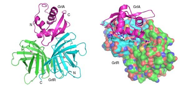 晶体结构,阐明了grlr结合grla