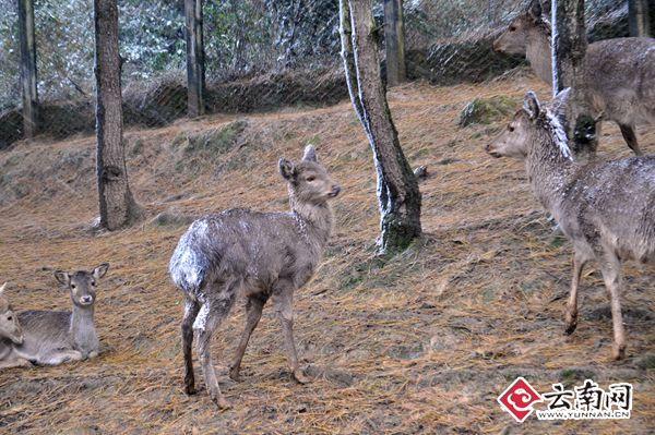 气温骤降 野生动物园动物应对下雪天各有妙招(图)