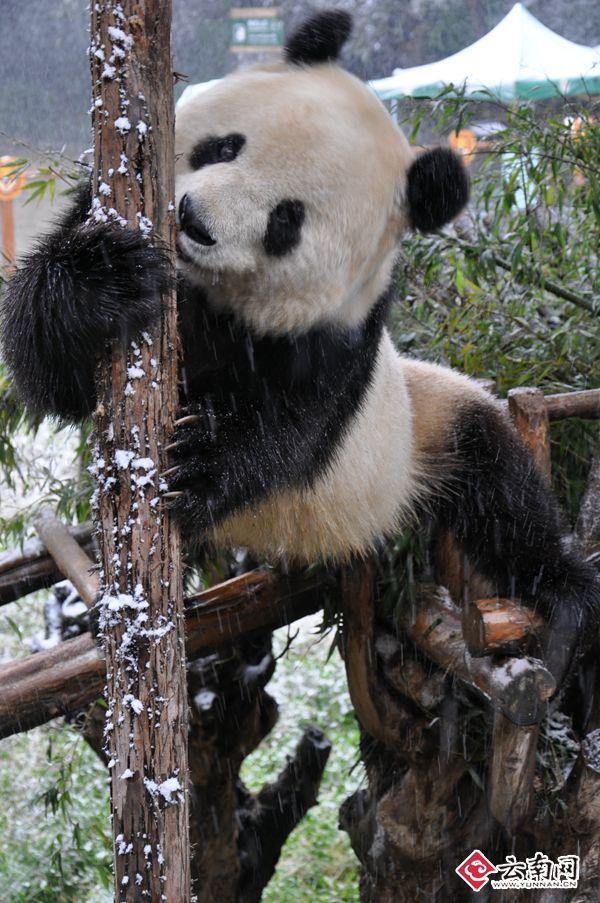 壁纸 大熊猫 动物 600_903 竖版 竖屏 手机
