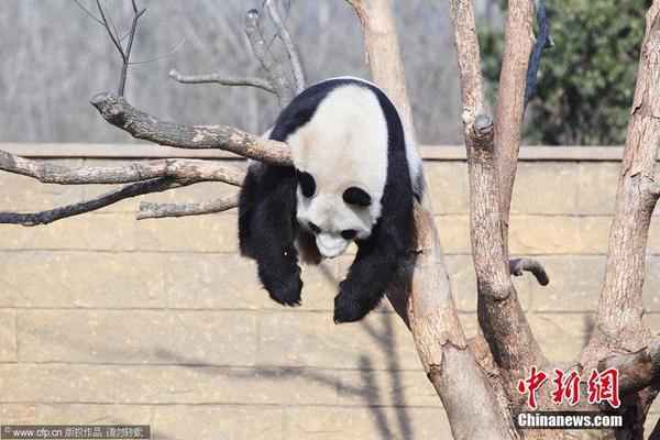 杭州 功夫 熊猫 自挂东南枝 睡姿销魂高清图片