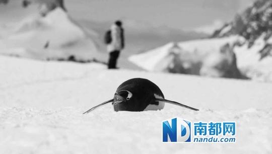 世界上最可爱的企鹅