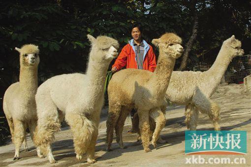 深圳野生动物园 新添4只小羊驼