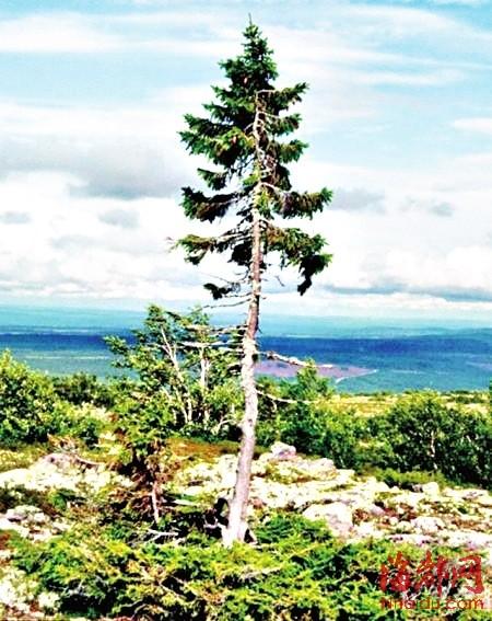 最老的树_瑞典发现最老古树 9500岁 无性繁殖会克隆