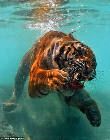 美国加利福尼亚州一家野生动物公园想出了一个点子——往水池里扔肉