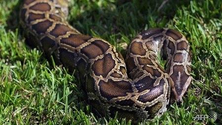 蟒蛇(资料图)