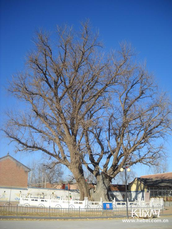 冬季的银杏树.(三河市文物管理所提供)