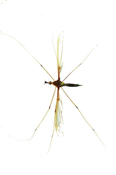 世界最大的蚊子的报道近况介绍