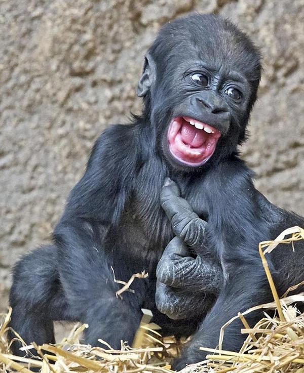 小猩猩Jengo近日就被大猩猩们逗得笑个不停。 据英国《每日邮报》4月24日报道,猩猩一直被认为是与人类最相似的动物。它们会笑、会哭、会与家人建立感情、还会使用各种工具。德国莱比锡动物园一只仅5个月大的小猩猩Jengo近日就被大猩猩们逗得笑个不停。只见,Jengo的眼睛一亮,咧开嘴,露出几颗小牙,看上去可爱极了。 据悉,Jengo还不是家族中最小的成员。今年3月初,它的妹妹Diara出生了。一家人其乐融融地聚在一起玩耍,画面十分温馨。(林熹)
