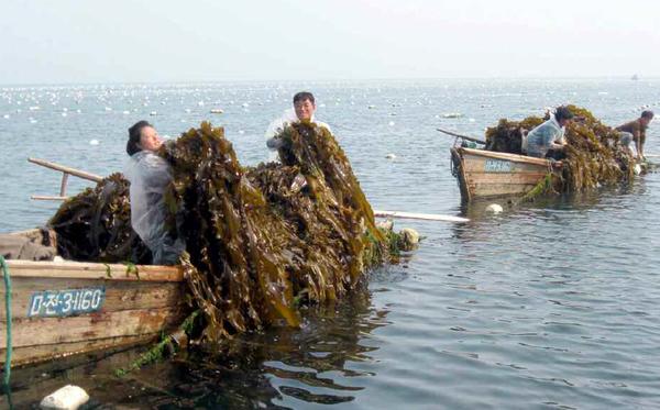 带养殖工人准确记录海带日产量,观察海带长势,争取5月份实现超