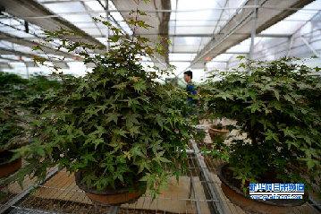 徽县苗木产业观察:大树长成仍需修剪侧枝