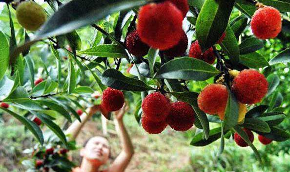 (长沙百果园 资料图)-长沙夏季水果采摘地图推出