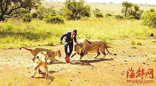 """被称作""""狮语者""""的动物园管理员凯文与三头狮子上演足球对决"""
