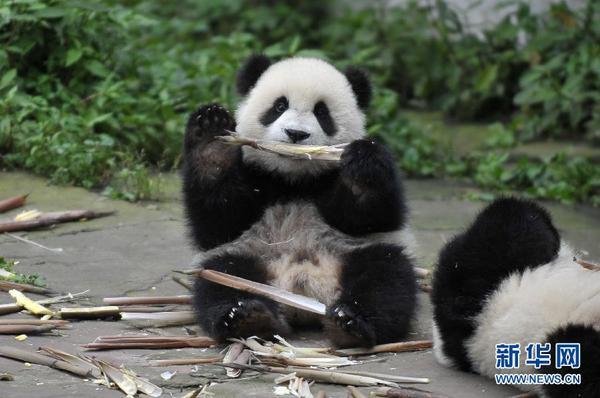一只幼年大熊猫在享用竹笋(6月10日摄)。位于四川省雅安市的中国保护大熊猫研究中心雅安碧峰峡基地里有一所熊猫幼儿园,6只2013年出生的幼年大熊猫在这里悠闲地生活着,它们憨态可掬的模样常令游客们惊喜不已。新华社记者 薛玉斌 摄
