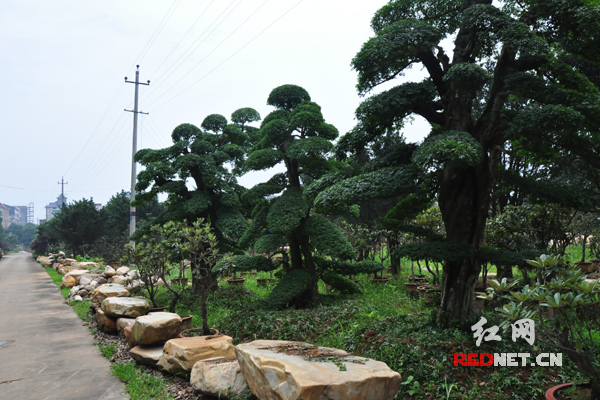 盆景 盆栽 树 松 松树 植物 600_400