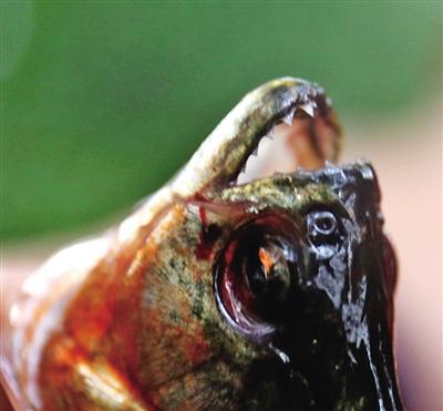 食人鱼锋利的牙齿.