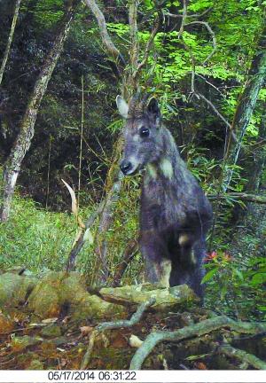 原标题:红外相机下的珍稀野生动物