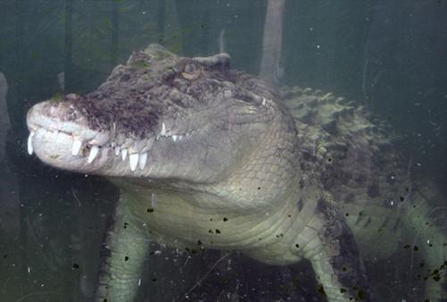 澳动物园鳄鱼兽性大发 咬伤饲养员拖其入水(图)