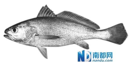 广州水生野生动物保护中心在科普讲座上透露,主产于珠江口的黄唇鱼,曾