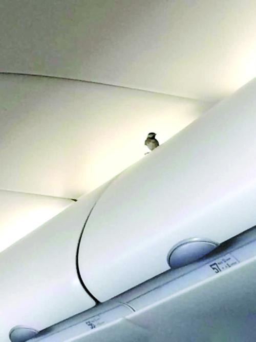 国航青岛至成都航班客舱现小鸟